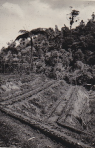 1.1 Some of the strawberry patches on the land at 36 Boylan Road Titirangi, Auckland
